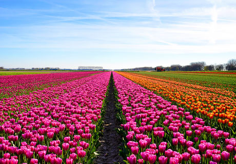 flower bulb fields